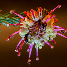 Grevillea. by Robert Stanley - Flowers Single Flower ( macro, grevillea, nature up close, spider flower, australian plants, natural beauty,  )