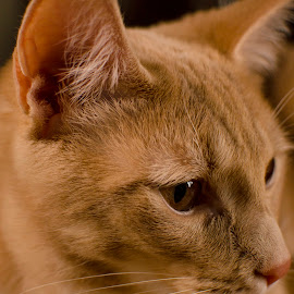 Diesel #1 by Christopher Fenning - Animals - Cats Portraits ( cat, ginger kitten, cat close up, cat portrait, cute, ginger cat )