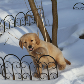 Trixie The Wave by Ellee Neilands - Animals - Dogs Puppies ( canine, winter, pet, snow, puppy, cute, dog, golden retriever )