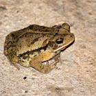 Gulf Coast Toad (female)