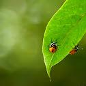 Pentatomidae nymphs