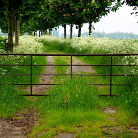 Path in spring by Anita Berghoef - Landscapes Prairies, Meadows & Fields ( field, white flowers, nature, green, path, trees, landscape, spring, gate )