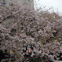 cherry blosom tree