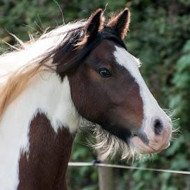 jamie close up by Nicky Staskowiak - Animals Horses ( running free, tinker, horses )