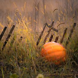 A Pumpkin Remains by Gary Hanson - Nature Up Close Gardens & Produce ( fence, remains, pumpkin, harvest, sunlight, garden, produce,  )