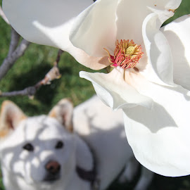 pretty puppy admiring pretty magnolia by Nickoleta Antonopoulos Nguyen - Animals - Dogs Puppies ( shiba inu, white magnolia, white dog, dog, magnolia )