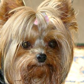 Pookie by Clara Scarano Scubla - Novices Only Pets ( yorkie, dog portrait, miniature yorkie,  )