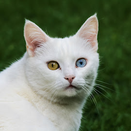 Unique Cat by John Cope - Animals - Cats Portraits ( puss, cat, odd colour eyes, white cat )
