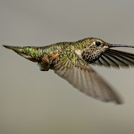 Hummingbird by Sheldon Bilsker - Animals Birds ( hummingbird.bird, flight, nature, park )