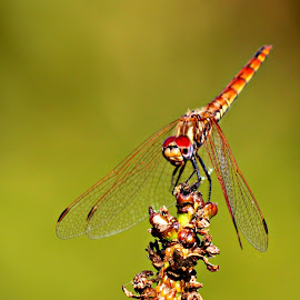 Dragonfly by Miranda Askwith - Novices Only Macro