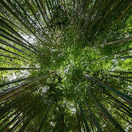 Bamboo by Tom Shope - Landscapes Forests ( bamboo, green, trees, forest, shade, renewal, forests, nature, natural, scenic, relaxing, meditation, the mood factory, mood, emotions, jade, revive, inspirational, earthly )