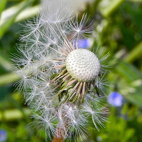 Time's almost out by Laura Payne - Nature Up Close Other plants ( plant, helicopter, clock, seed, weed, yellow, float, seedhead, time, dandelion, fly, peethebed, pest, flower,  )