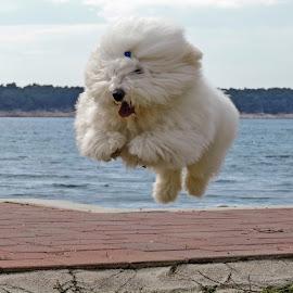 flying dog by Adriana Kastelan - Animals - Dogs Running (  )