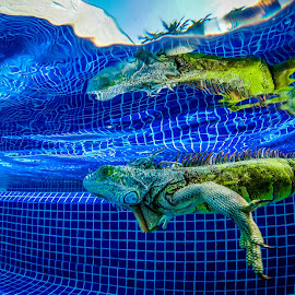 Godzilla by Tony Saad - Animals Reptiles ( pool, iguana, reptile, swimming,  )