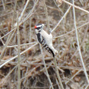 Downey Woodpecker (male)