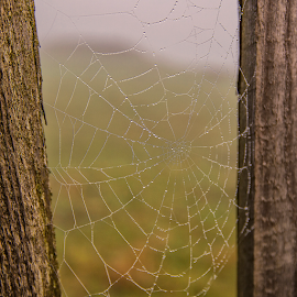 Morning rain web by Robert Ungurianu - Nature Up Close Webs ( water drops, webs, drops, spider, sunrise )