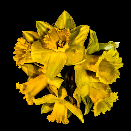 A posy of spring by Nicole Williams - Novices Only Flowers & Plants ( daffodils flowers reflection yellow )