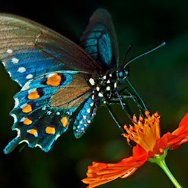 Pipevine swallowtail on coreopsis by David Winchester - Animals Insects & Spiders (  )