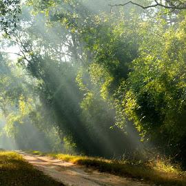 morning light by Ruta Kalmankar - Landscapes Forests