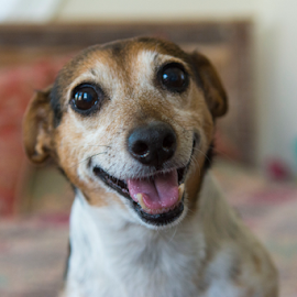 Happy dog by Christopher Fenning - Animals - Dogs Portraits ( smiling dog, jack russell, dog portrait, happy dog, smile, dog, smiling )