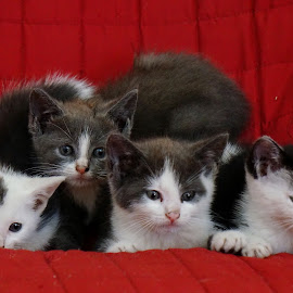 Four Stray Kittens on a Couch by Bridgette Rodriguez - Animals - Cats Kittens ( cats, cat, kitten, animals, kittens, cute, kitty, animal )