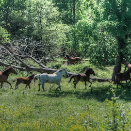Wild horses in the forest by Stratos Lales - Landscapes Forests ( wild, animals, horses, forest, running )