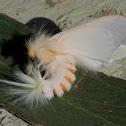 Sparshall's Moth