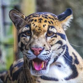 by Renato Vilaça - Animals Lions, Tigers & Big Cats