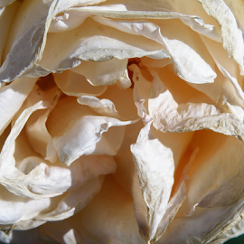 dying rose by Kasia Haldas - Nature Up Close Other plants ( flower up close, white flower, rose, flower garden, white rose, flower art, flower nature, flower photo, flower closeup, flower close up, flower photography, flower,  )