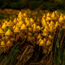 Golden fungis by Peter Samuelsson - Nature Up Close Mushrooms & Fungi