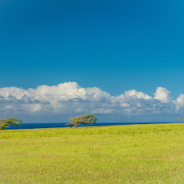Three Windswept Trees by Karen Martin - Landscapes Mountains & Hills ( clouds, ranch, wind, hill, grass, green, pacific, 3, swept, sky, tree, blue, three, trees, hawaii )