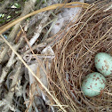 Mockingbird Eggs