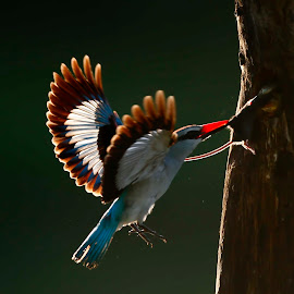 Backlighting by Chris Krog - Animals Birds ( senegalensis, halcyon, kingfisher, woodland )