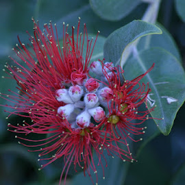 CALLIANDRA by Giovanna Pagliai - Nature Up Close Other plants ( red, humidity, rare, sea, amazing., exotic )