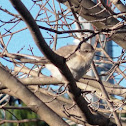 Northern Mockingbird (and Nest)