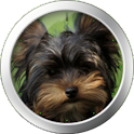 Yorkshire Terrier Theme icon