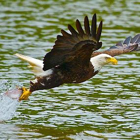 The Grab by Roy Walter - Animals Birds ( water, bird, wild, splash, fish, bald eagle, animal, river,  )