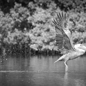 Skip Hop by Jared Lantzman - Black & White Animals ( bird, wings, pelican, birds,  )