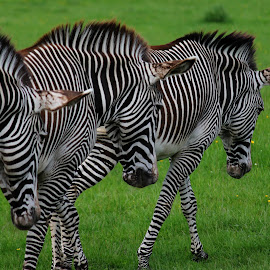 Zebra Train by Nikki Wilson - Animals Other Mammals ( nature, wildlife, zebra, stripes, animal )