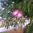 surinam powderpuff tree