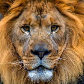The King by Kenneth Martin - Animals Lions, Tigers & Big Cats ( big cat, predator, lion, zoo, simba, king )