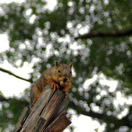 Nuts To You by Pamela NavarraWilliams-Shane - Animals Other Mammals ( tree, nut, cute, squirrel, animal )