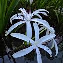 American Crinum Lily