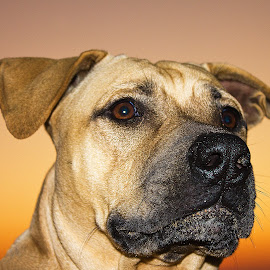 Kadar by Leon Chester - Animals - Dogs Portraits ( animal portrait, nature, sunset, dog portrait, dog, animal )