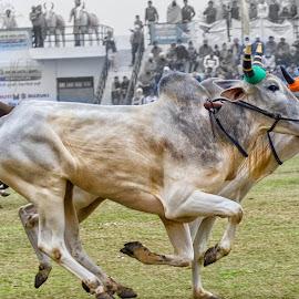 Cart Race by KP Singh - News & Events Sports ( punjab, kila raipur, cart, race, rural )