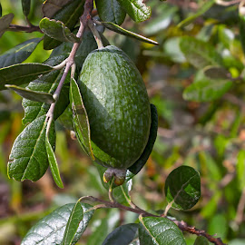 Feijoa by Vibeke Friis - Nature Up Close Gardens & Produce ( fruit, closup, feijoa,  )