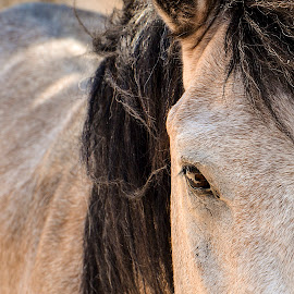 Staring by Sergios Georgakopoulos - Animals Horses ( forelock, horse, head, close up, eye )