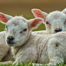Cute Lambs by Friedhelm Peters - Animals Other Mammals