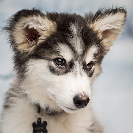 Talkeetna at 11 Weeks by Stuart Partridge - Animals - Dogs Portraits