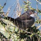 Sardinian Warbler; Curruca Cabecinegra